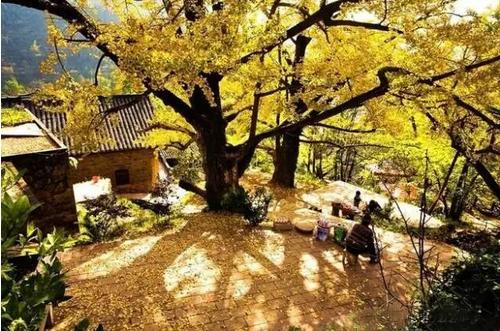 是一幅美妙的風景畫  與全家一起過一個親近自然的周末  嘗一嘗銀杏果